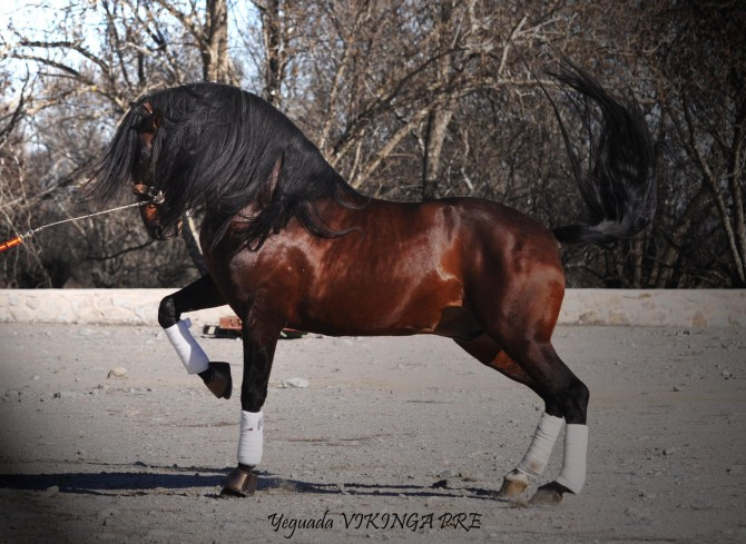 Worldwide breedingservices from 4 international stud stallions! - Yeguada Vikinga PRE