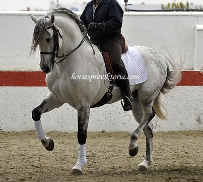 Advanced highschooled PRE of stud quality - Yeguada Vikinga PRE