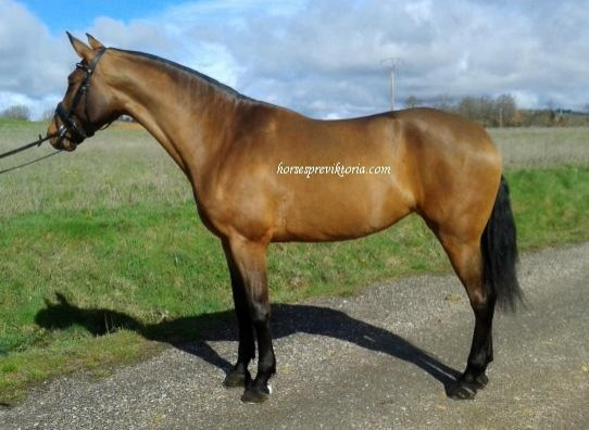 Dressage PRE filly ridden and driven - Yeguada Vikinga PRE