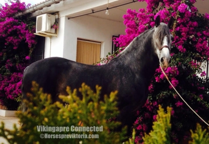 MAN - Athletic PRE for dressage and breeding - Yeguada Vikinga PRE