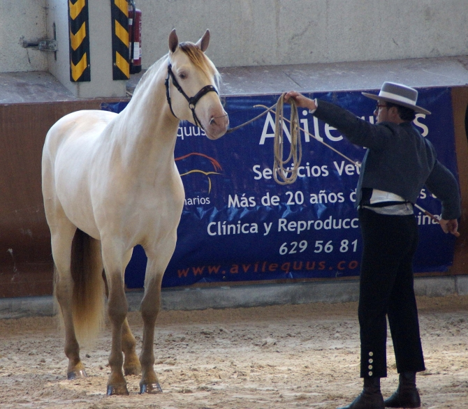Artico VIK on our International breedingprogram 2017! - Yeguada Vikinga PRE