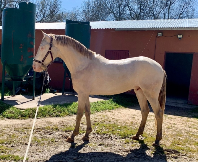 Vikinga bred stallions, mares and foals for sale! - Vikinga Sales & Breeding